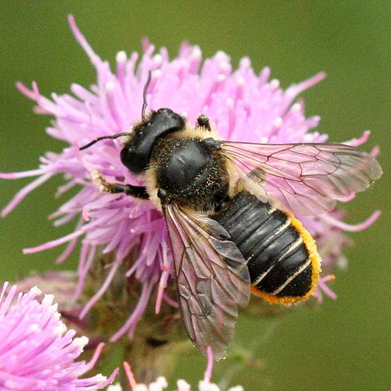 Leafcutter Bee - Megachile inermis - female
