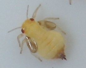 Hackberry gall psyllid nymph - Pachypsylla celtidismamma