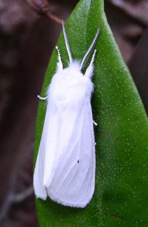 Virginia tiger moth? - Spilosoma virginica