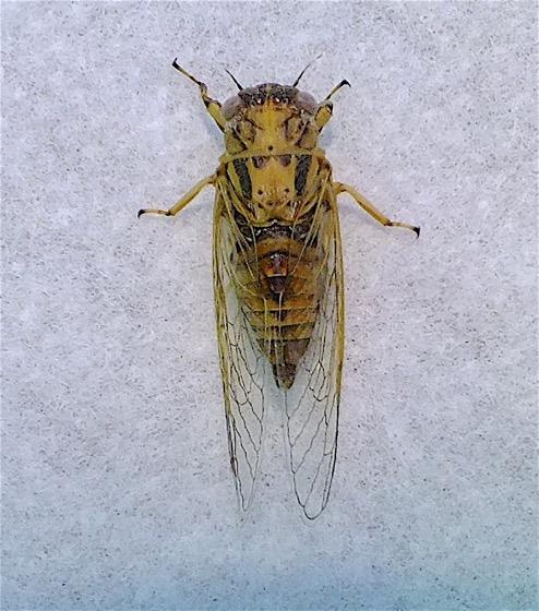 Cicadetta calliope