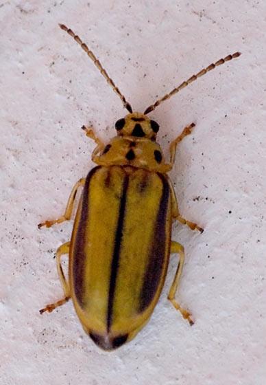 Elm Leaf Beetle??? - Xanthogaleruca luteola