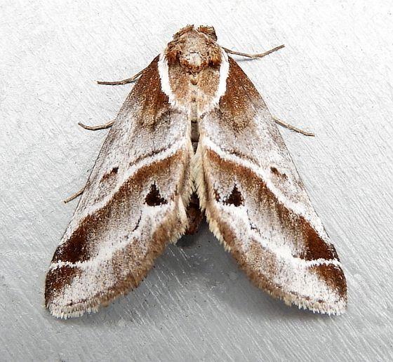 Pennsylvania Moth - Baileya doubledayi