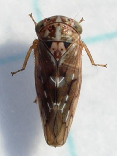 leafhopper - Idiocerus albolinea