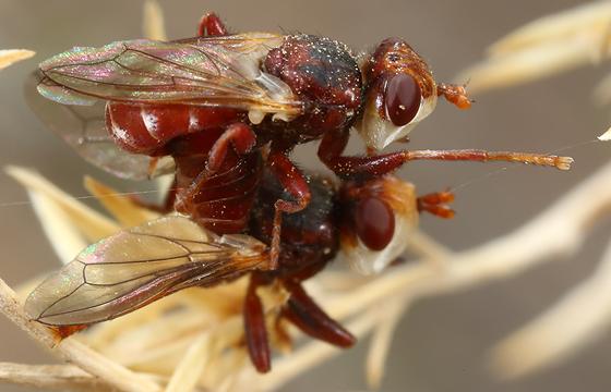 mating flies - Myopa rubida - male - female