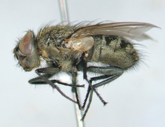 Pollenia angustigena - male