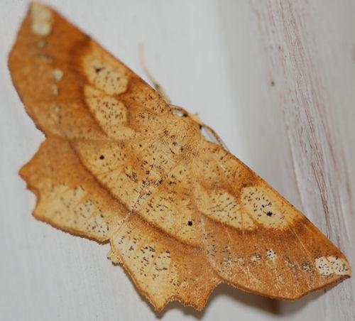 Euchlaena amoenaria  - Euchlaena amoenaria