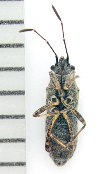 Lygaeidae, ventral - Neortholomus scolopax
