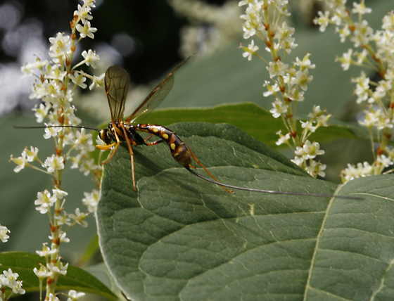 Megarhyssa nortoni - female