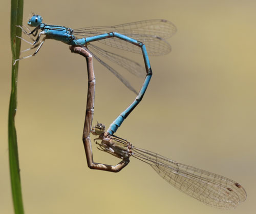 Enallagma basidens? - Enallagma basidens - male - female