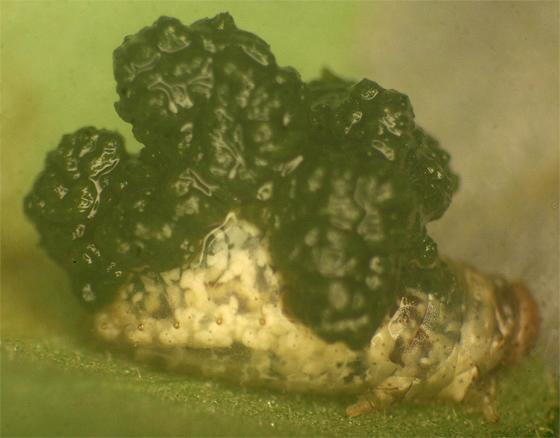 Neolema cordata larva - Neolema cordata