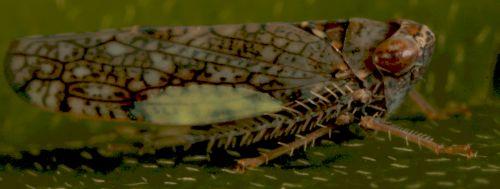 Oriental Leafhopper - Orientus ishidae
