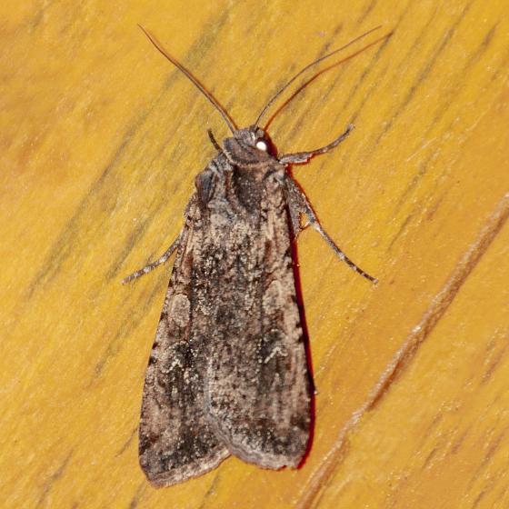 Unidentified Moth-D-20191009 - Peridroma saucia