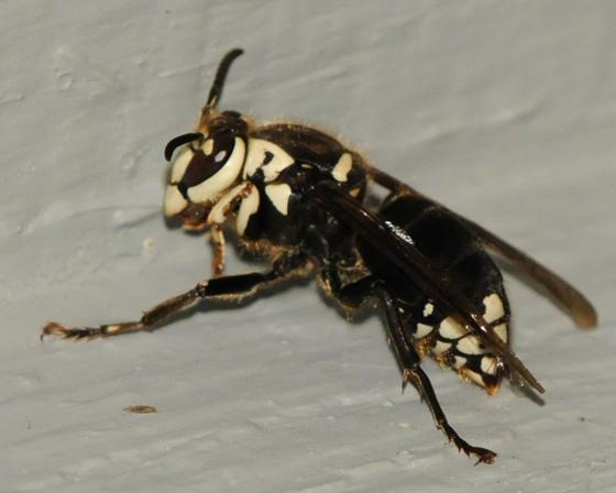Baldfaced Hornet - Dolichovespula maculata
