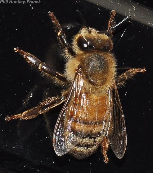 Night Bee - Apis mellifera