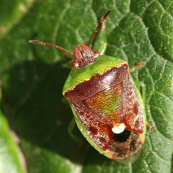 Red and green stink bug - Banasa dimidiata