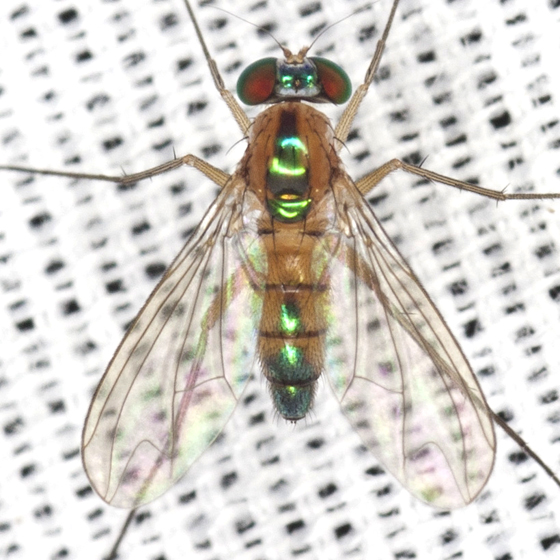 Long-legged Fly - Amblypsilopus dorsalis