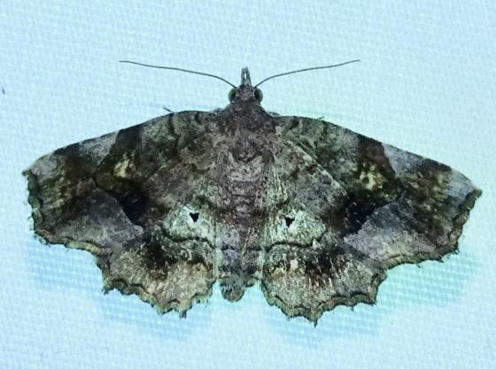 Decorated Owlet - Pangrapta decoralis