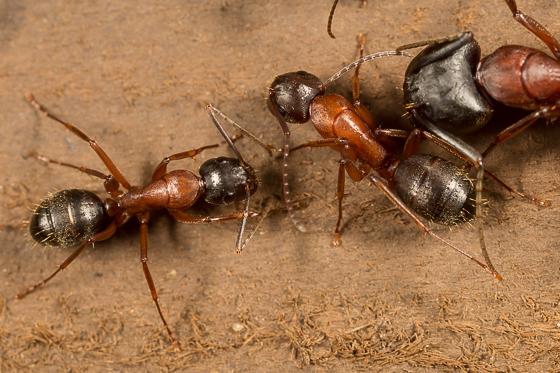 Carpenter Ants - Camponotus semitestaceus
