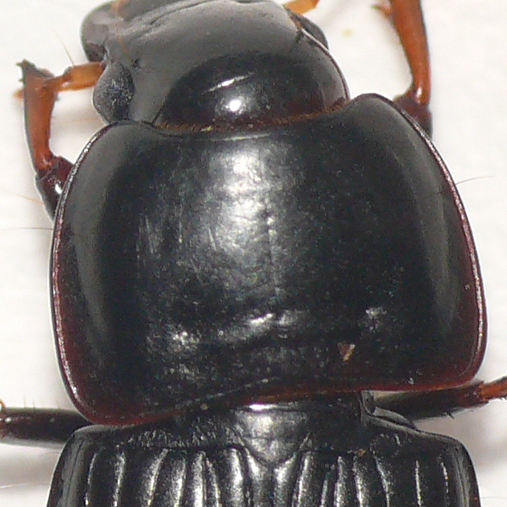 Ground beetle 10.05.29 - Anisodactylus dulcicollis - female