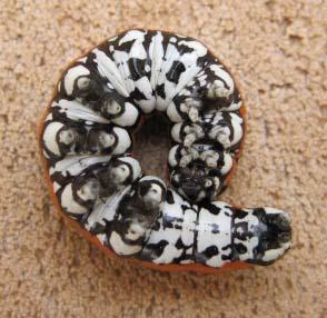 Unknown Caterpillar - Cucullia dorsalis