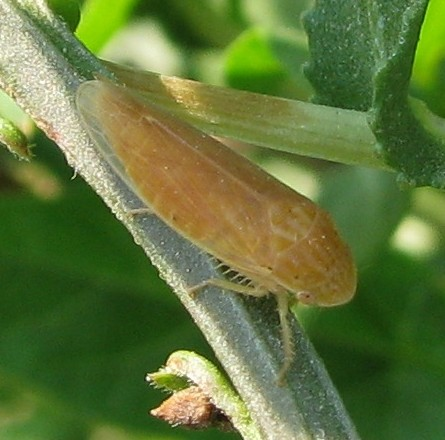 Orangish leafhopper - Gypona verticalis