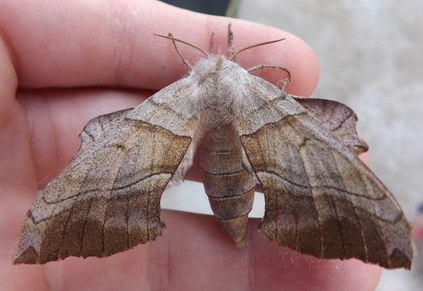 What moth? - Amorpha juglandis - female