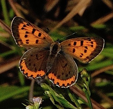 Lycaena hyllus (or phlaeas?) - Lycaena hyllus - female