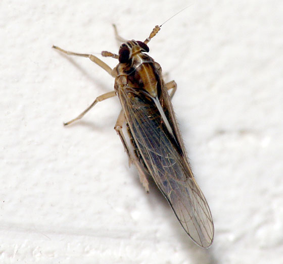 Delphacid Planthopper - Sogatella kolophon