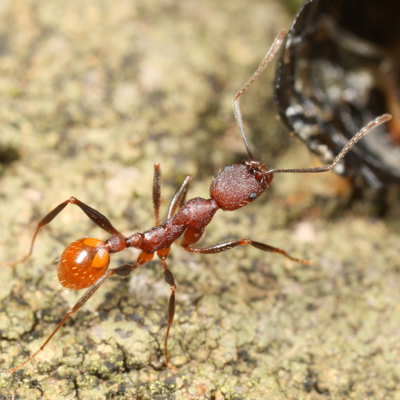Aphaenogaster? - Aphaenogaster lamellidens - female