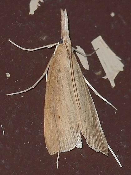 Donacaula sordidella - Donacaula sordidellus - male