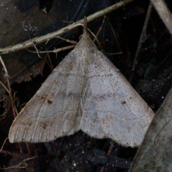 Litter moth - Renia flavipunctalis
