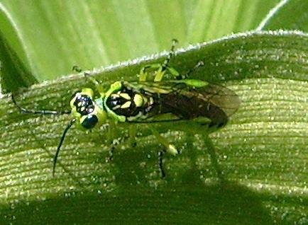 Green Sawfly - Rhogogaster