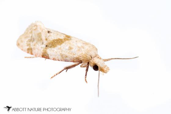 moth - Platphalonidia magdalenae