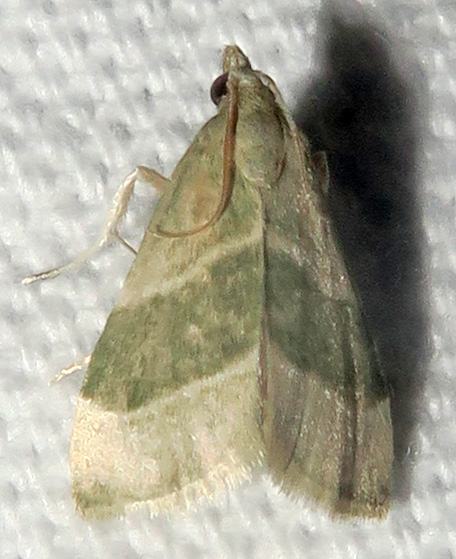 Anemosella viridalis