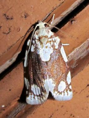 Brown & White Moth - Argyrotaenia alisellana