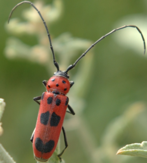 Which Tetraopes - Tylosis maculatus