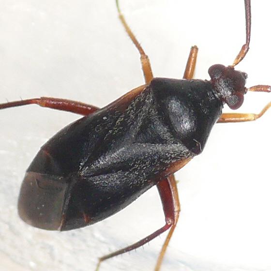 Ceratocapsus sp. - Ceratocapsus nigellus