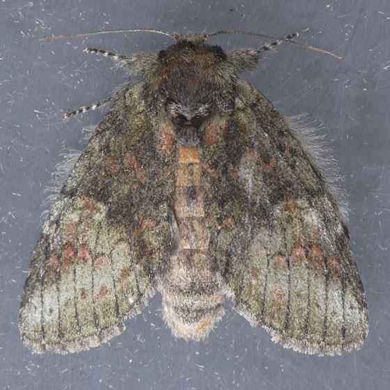 7994 Saddled Prominent  - Heterocampa guttivitta - female