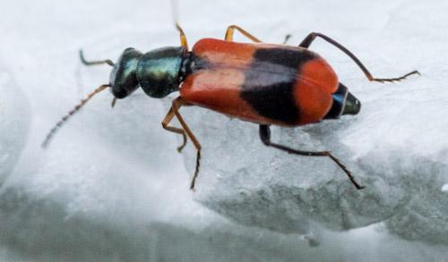 Scarlet lily beetle - Wikipedia
