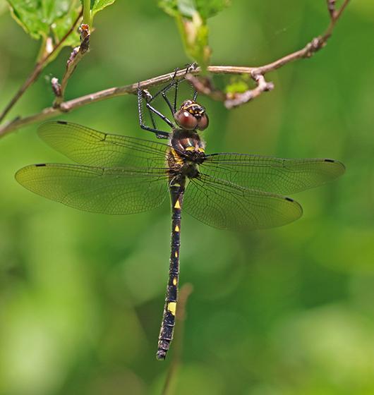 Macromia illinoiensis - female