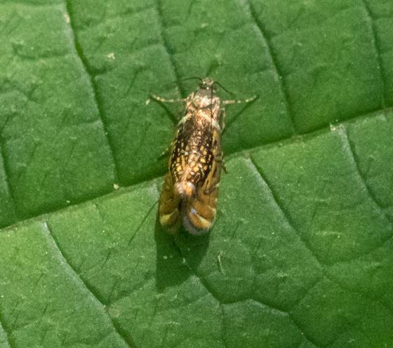 Small gold-colored moth - Glyphipterix quadragintapunctata