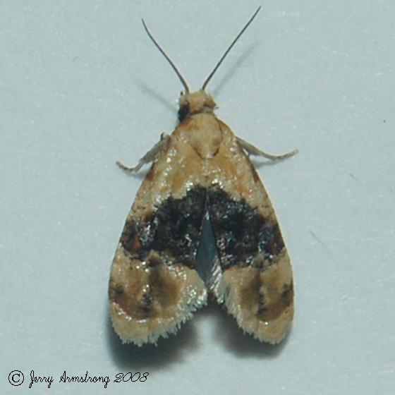 Black-patched Glaphyria Moth - Hodges#4873 - Cochylichroa hospes