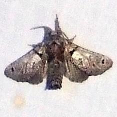 Inguromorpha basalis, Black-lined Carpenter Moth, Hodges #2659 ? - Inguromorpha n-sp
