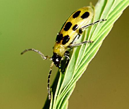 Bug Identity Request - Diabrotica undecimpunctata