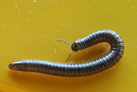 Millipede - which? - Tylobolus
