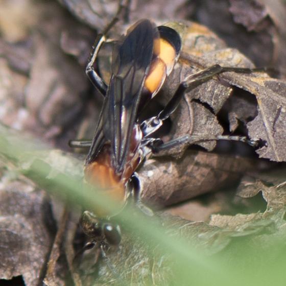 Spider wasp - Psorthaspis mariae