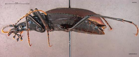 Scaphinotus angusticollis