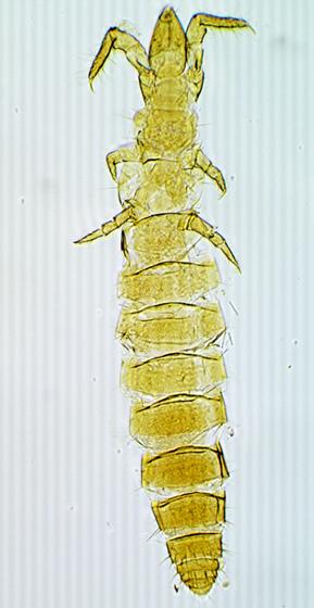 Protura - Acerentomidae
