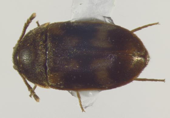 Mycetophagidae, dorsal - Litargus balteatus
