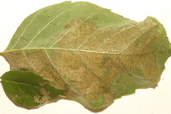 Erebidae, Pink-legged Tiger, larval herbivory - Spilosoma latipennis